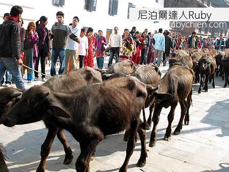 這些牛隻即將成為祭品。