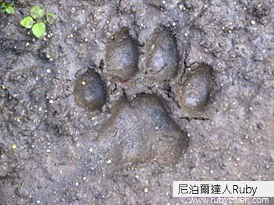 老虎腳印。嚮導可以從腳印判斷公母,也可以推測留下腳印的時間,如果是非常新鮮的腳印,可能動物就在附近,要做好「落跑」的準備。